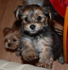 Dogs That Dont Shed Or Bark by My Latest Obsession Shorkie Puppies And I Don U0027t Even Like
