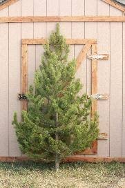 Longest Lasting Christmas Tree by Christmas Trees Slc Ut Trees And Prices