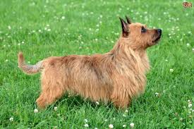 Non Shedding Small Dogs Australia by Australian Terrier Dog Breed Information Buying Advice Photos