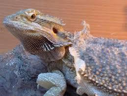 Bearded Dragon Shedding Help by Shedding