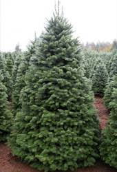 Nordmann Fir Christmas Trees Wholesale by Wholesale Noble Fir Fresh Cut Christmas Trees