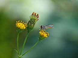 Attracting Insects To Your Garden by The Best Plants To Attract Hoverflies U0026 Other Beneficial Insects