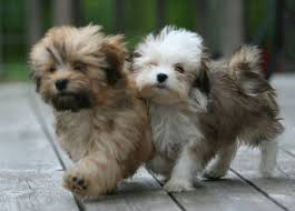 Dog Breeds That Dont Shed by Best 25 Dog Breeds That Dont Shed Ideas On Pinterest Puppies