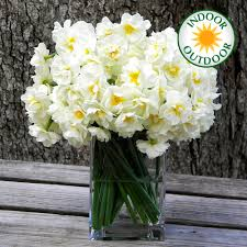 narcissus bridal crown indoor outdoor daffodil flowering