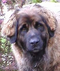 Large Dogs That Dont Shed by Five Large Dog Breeds That Don U0027t Drool Much Pethelpful
