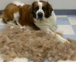 Large Dogs That Dont Shed by Large Breed Hypoallergenic Dogs Dog Breeds
