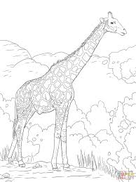 Animals Giraffes Coloring Pages The N Giraffe Or Baby Pictures To Print