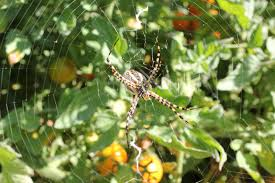 Yellow Striped Garden Spider... | Backyard Farmgals R2rustys Chatter September 2017 Ladybugs Backyard And Beyond Birdingand Nature Golden Silk Orb Weaver Spider In Bug Eric Sunday Black Yellow Argiope Glass Beetle By Falk Bauer A Backyard Naturalistinsects Ghost Spiders Family Anyphnidae Spidersrule C2c_wiki_silvgarnspider_hrw8q0m1465244105jpg Aurantia Wikipedia Two Views Sonoran Images Elephant Tiger Skin Spiny Blackandyellow Garden Mdc Discover Power Animal For October Shaman Amy Katz