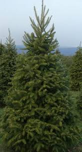 Types Of Christmas Trees To Plant by 15 Types Of Evergreens For Landscaping The Home Depot Community