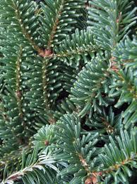 Christmas Tree Species by 9 Things To Know Before Cutting Down A Christmas Tree Outdoors