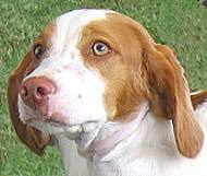 Do Brittany Spaniels Shed Hair by 28 Do Brittany Spaniels Shed Hair Best Breeds Of Dogs For