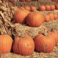 Connecticut Field Pumpkin For Pies by Pumpkins Archives Sow True Seed Open Pollinated U0026 Heirloom