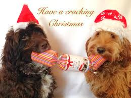 Are Christmas Trees Poisonous To Dogs Uk by Winter Care Cockapoo Owners Club Uk