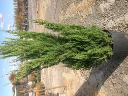 Christmas Trees Need Proper Care