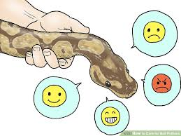 Ball Python Shedding Eating by How To Care For Ball Pythons 8 Steps With Pictures Wikihow