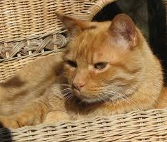 orange cat names what are orange cat names pethelpful