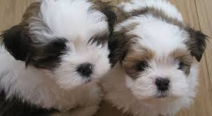 lhasa apso puppy shedding lhasa apso breed information facts pictures etc pets world