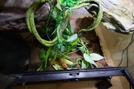 Crested Gecko Shedding Behavior by Sleeping On The Ground Crestedgecko