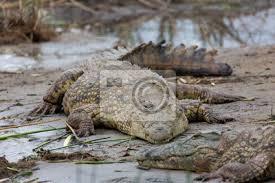 fototapete krokodile am wasserloch