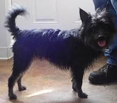 Pet spot – Benji a Yorkie mix up for adoption at Open Door