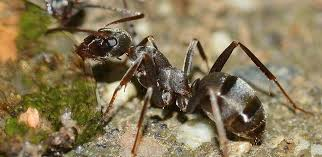 12 Effective Home Reme s to Get Rid of Ants Fast