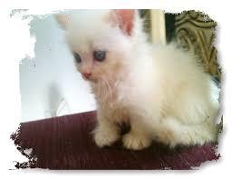 munchkins cats scottish fold munchkins kittens