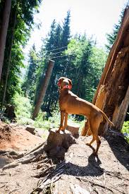 Do Redbone Coonhounds Shed by Whiskey The Vizsla Puppy First Heat