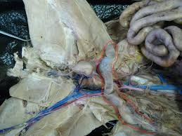 cat digestive system kitty digestive system reproductive system and urinary