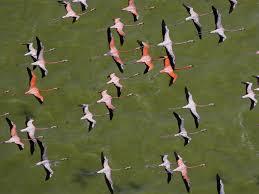 Flamingos Apply