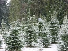 Christmas Tree Seedlings by Photos Bowen Tree Farm