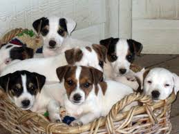 Before You Buy A Jack Russell Terrier | British Grit Jack Russell ... Jack Russell Gracie Sold To Chris Dearmon Snow Creek 1813 Best Triers Images On Pinterest 743 Russell Long Haired Jack Trier Puppies For Sale In Kent Google The Russellcolbath Historic Homestead Site The White Mountains New Hampshire Kancamagus Highway Northern England Villages Cute Trier Dog On Stock Photo 574920391 Shutterstock Farm Photos Images Alamy Male Teacup Chihuajack Russellix Lantern Pictures Jackhua 1588