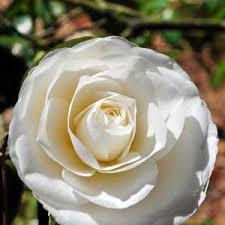 entretien du camelia en pot élia du japon blanc camellia japonica mon camelia
