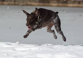 German Shorthaired Pointer Shed Hunter by German Shorthaired Pointer Dog Breed Information Pictures