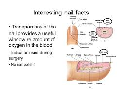 Cyanotic Nail Beds by The Integumentary System Skin Ppt Video Online Download