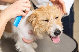 My Short Haired Dog Sheds A Lot by How To Groom Your Jack Russell Happy Jack Russell