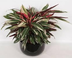 plants seeds bulbs calathea triostar 100 seed only 2