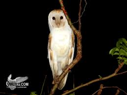Barn Owl Biology - Owling.com Common Barn Owl 4 Mounths In Front Of A White Background Stock Royalty Free Images Image 23603549 Known Photo 552016159 Shutterstock Owl Wikipedia 644550523 Mdc Discover Nature Tyto Alba Perched On A Falconers Arm At Daun Audubon Field Guide Mounths Lifeonwhite 10867839 Barnowl 1861 Best Owls Snowy Saw Whets Images Pinterest Photos Dreamstime