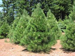 Plantable Christmas Trees Columbus Ohio by Pine Austrian Pine Christmas Tree Columbus Oh Trees