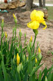 1 yellow bearded irises bare root rhizomes iris bulbs flowering