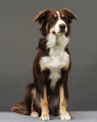 Do Blue Heeler Border Collies Shed by Everything You Need To Know About Border Collie Colors And Markings