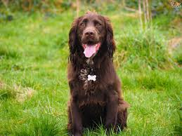 Field Springer Spaniel Shedding by Sprocker Dog Breed Information Buying Advice Photos And Facts