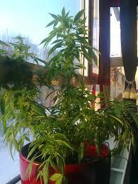 transférer cannabis de l intérieur vers l extérieur graines de