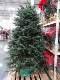 Fresh Cut Noble Fir Christmas Tree Throughout Costco Real Trees Prices
