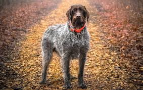 Griffon German Wirehaired Pointer Shedding by Wirehaired Pointing Griffon Vs Airedale Terrier Dog Breed Atlas