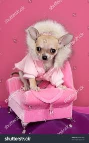 Fashion Chihuahua Dog Style Sofa Armchair Stock Photo 68067868 ... Faux Suede Pet Fniture Covers For Sofas Loveseats And Chairs Comfort Research Big Joe Bagimals Dawson The Dog Bean Bag Armchair Shih Tzu Lap On The Stock Photo Image 350298 Dog Cat Chamomile Amazoncom Sure Fit Quilted Throw Sofa Slipcover Taupe King Sitting His Throne 1018169 Shutterstock Antique Asian Chair Chinese Export Wood Carved Dragon Lion Foo Me My Dogcat Fold Out Bed With Protector Available In Dogs Amazoncouk Boxer Destroyed A Leather Armchair Alone At Home Damaged Hound Buttonback Occasional Loaf