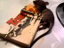 tom cat mouse trap tomcat snaptrap hint for mouse thievery