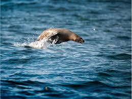 california sea rocky shores marine mammals zalophus
