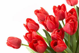 cheap tulip seeds for sale find tulip seeds for sale deals on