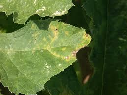 Stages Of Pumpkin Growth by Pumpkin Disease Management Steps Purdue University Vegetable