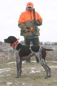 german shorthaired pointer shed paw print genetics breed of the week german shorthaired pointer
